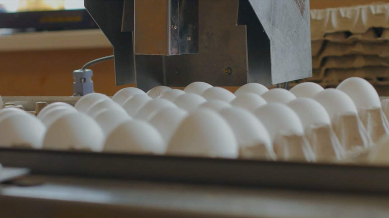 Eggs being packaged for grocery stores