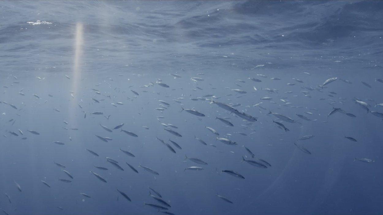 Spawn of salmon swimming up stream